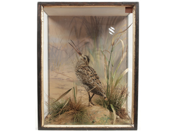 A taxidermy male snipe in parcel gilt ca